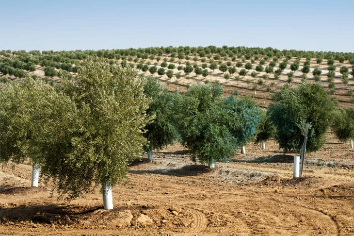 Olive trees in a row on a farm